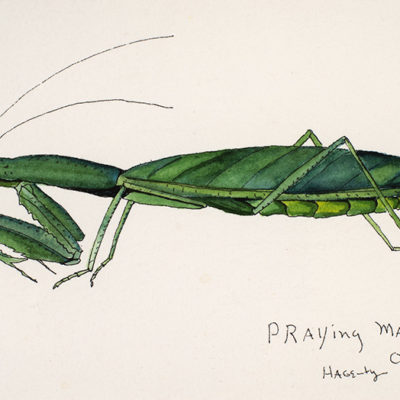 0e0e1-164PrayingMantis2007WoP5x7